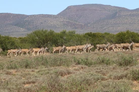 Cabo Oriental, África do Sul: The park boasts some impressive herds of antelope. In this case Eland.
