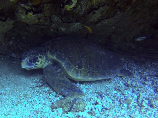 Umkomaas, Sydafrika: Hawks-bill Sea Turtle
