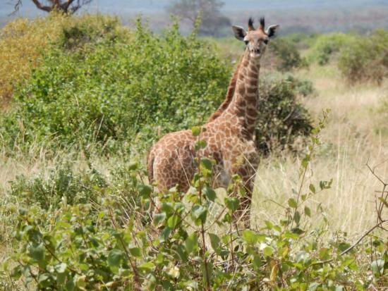 Giraffen Gab Es Sehr Viele Ein Glück War Die Baby Giraffe