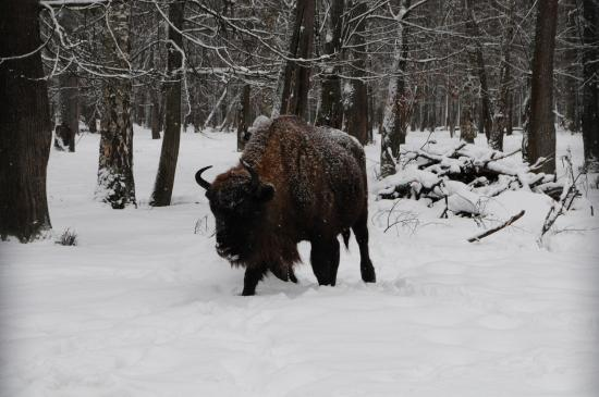 Serpukhov, Rusia: First glimpse of a bison