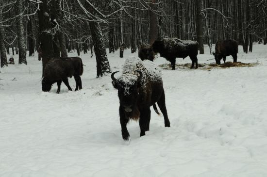 Serpukhov, Rusia: Part of a small herd
