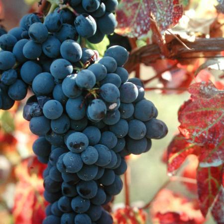 Calamandrana, Италия: uva barbera ...
