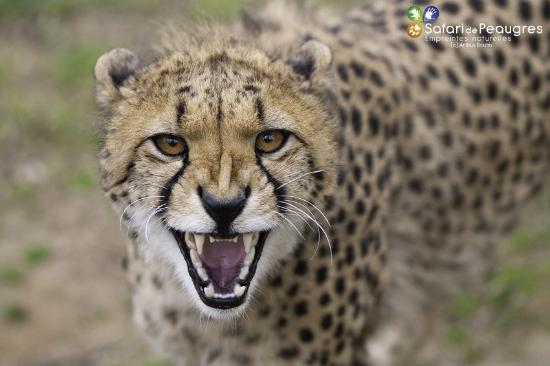 Ardeche, Francia: Guépard -Safari de Peaugres
