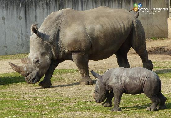 Ardèche, France : bébé rhinocéros Unesco - Safari de Peaugres