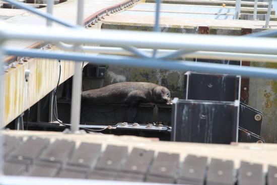 Goolwa, Αυστραλία: A seal sunbathing