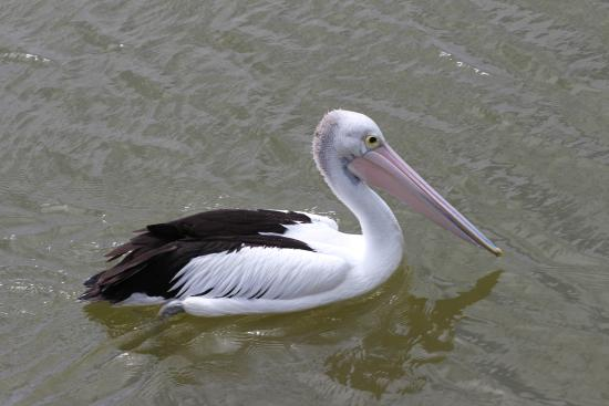 Goolwa, Αυστραλία: A fishing pelican