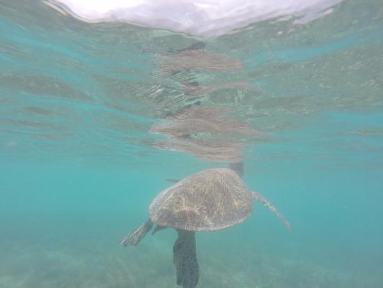 Cannonvale, Australia: Turtles to see!