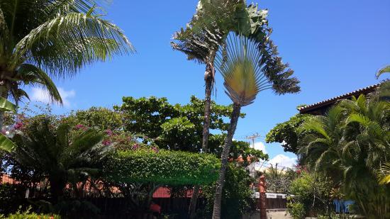 Lauro de Freitas, BA: L'arbre du voyageur