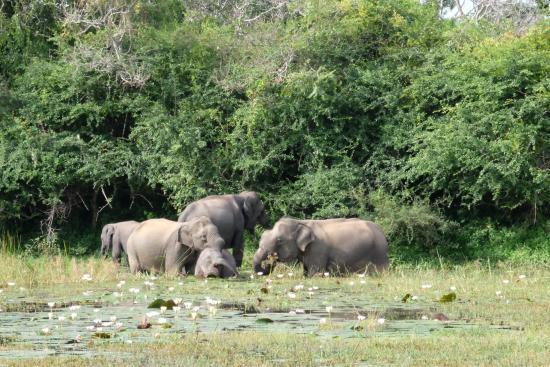 Tissamaharama, Σρι Λάνκα: Elephants bathing and eating water lilies