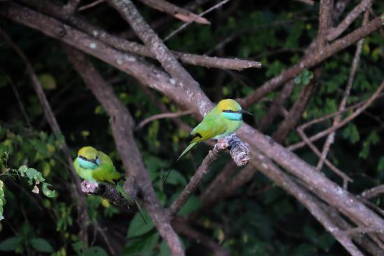 Tissamaharama, Σρι Λάνκα: Bee Eater birds