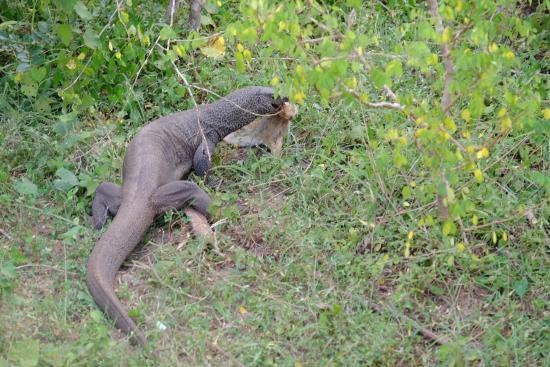 Tissamaharama, Σρι Λάνκα: Monitor Lizard eating a rabbit