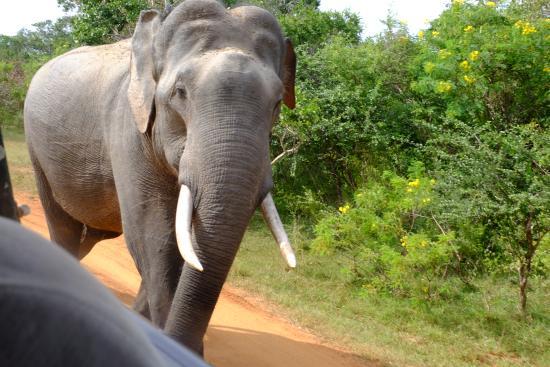 Tissamaharama, Σρι Λάνκα: Large male elephant VERY close to us! :)