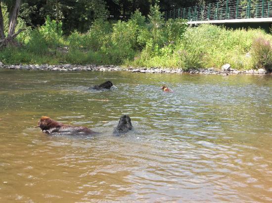 Collegeville, PA: Maggie and Newfs in Perkiomen Creek