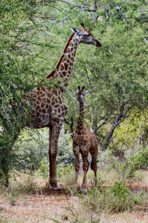 Balule Private Game Reserve, Νότια Αφρική: Female and giraffe calf