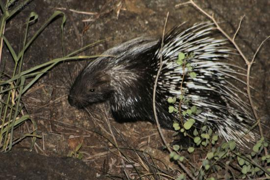 Balule Private Game Reserve, Zuid-Afrika: Baby porcupine