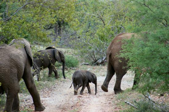 Balule Private Game Reserve, Zuid-Afrika: Breeding herd of elephants on game drive