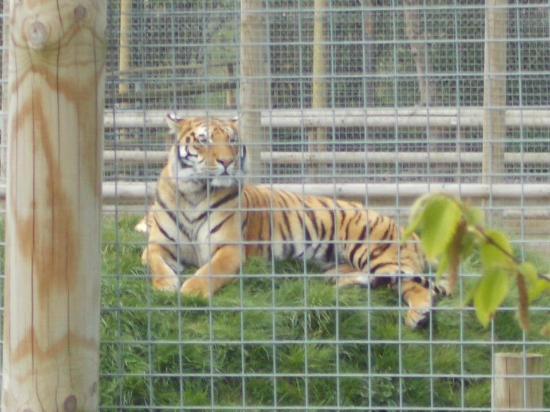 Wingham, UK: Stunning tiger