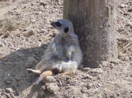Wingham, UK: Relaxed meerkat