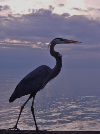 Venice, FL: I quietly said, please jump up on the railing and this beautiful great blue heron did just that!