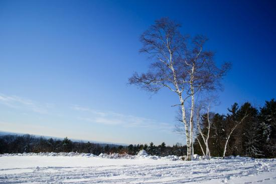 Andover, MA: A lonely birch tree on Holt Hill