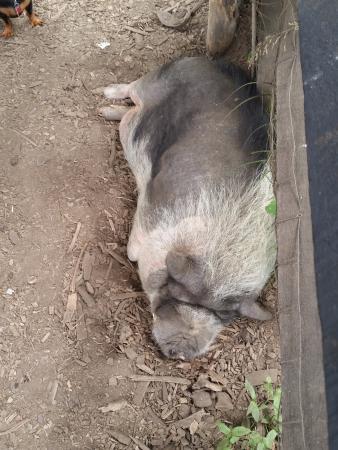 Putney, VT: Here Piggy, Piggy