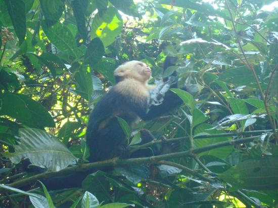 Manuel Antonio Nature Reserve & Wildlife Refuge: Monkeys are everuwhere in the park
