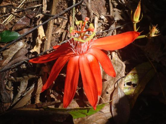 Manuel Antonio Nature Reserve & Wildlife Refuge: Unusual red flower