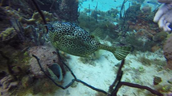 Bayahíbe, República Dominicana: Cowfish