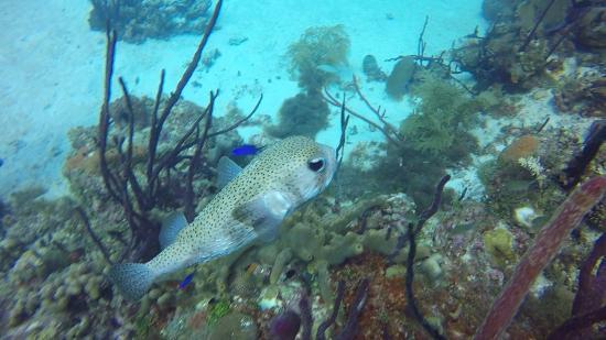 Bayahibe, Den Dominikanske Republik: pufferfish