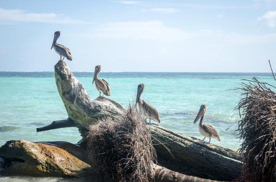Placencia, Belize: Pelicans!