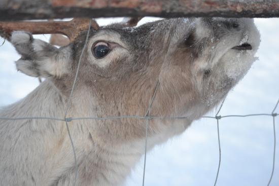 Snowhotel Kirkenes: Resident reindeer