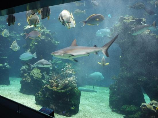 ‪‪Aquarium des Lagons Nouvelle Caledonie‬: The Blacktail Reef Sharks were also about 2m long each.‬
