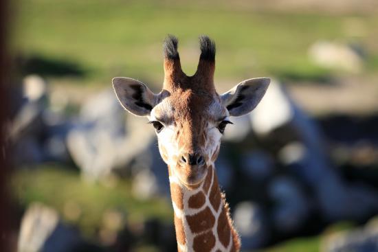 Escondido, Californien: A Freeloading Giraffe posing for a treat.