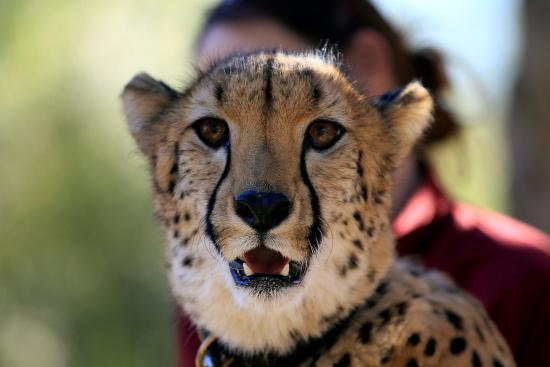 Escondido, Californien: Cheetah up close