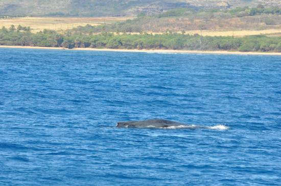 Eleele, ฮาวาย: Whale so close to our boat.