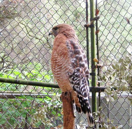 Hayward, Califórnia: One of  two Red Tail Hawks Rescued.