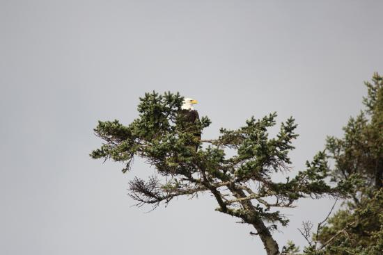 Moclips, WA: Eagles nest right across the channel from our room.