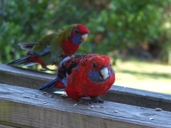 Goldsmith's in the Forest: Crimson Rosella on the deck. They are so friendly!