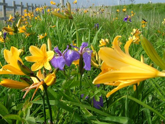 Hamanaka-cho, Japan: 霧多布湿原の花々