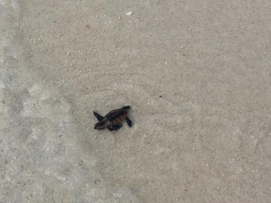 Asdu Sun Island: La schiusa delle uova di tartaruga