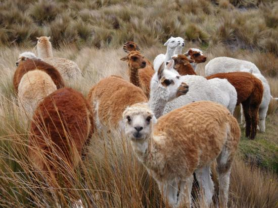 Estrella del Chimborazo: alpaca from the room