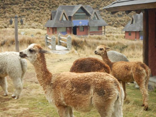 Estrella del Chimborazo: alpaca grazing around the lodge