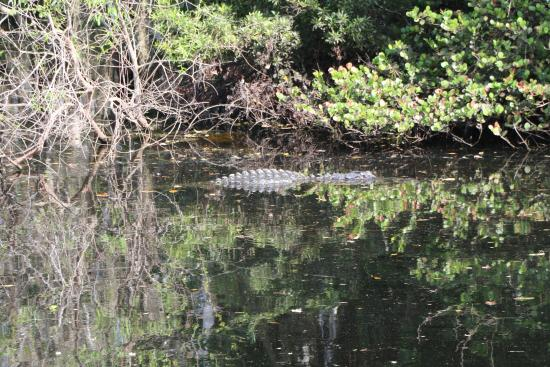 Everglades City, FL: Alligator in the Canal