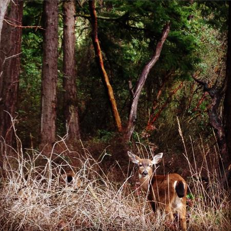 Port Townsend, Вашингтон: Some deer that we followed for a little while!