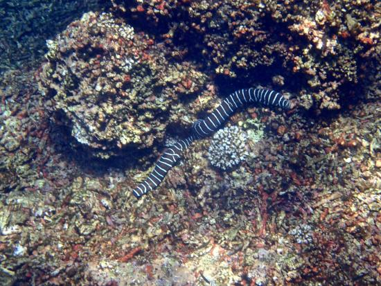Boca Chica, Panama/Panamá: Zebra eel at Islas Secas