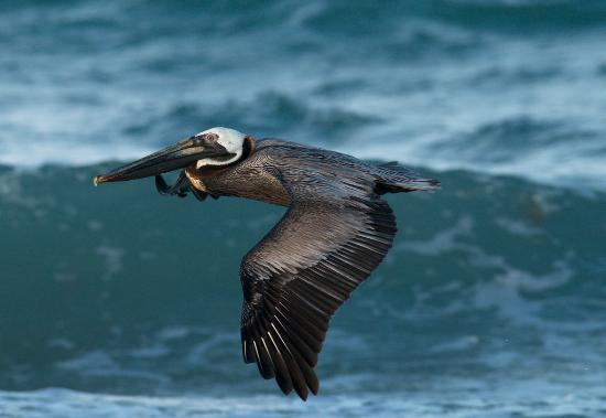 Герреро, Мексика: A brown pelican, Troncones, Mexico