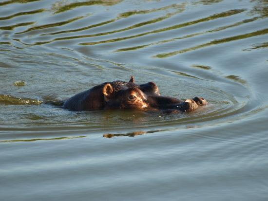 Timbavati Private Nature Reserve, Sydafrika: Flodhästen säger snork snoork