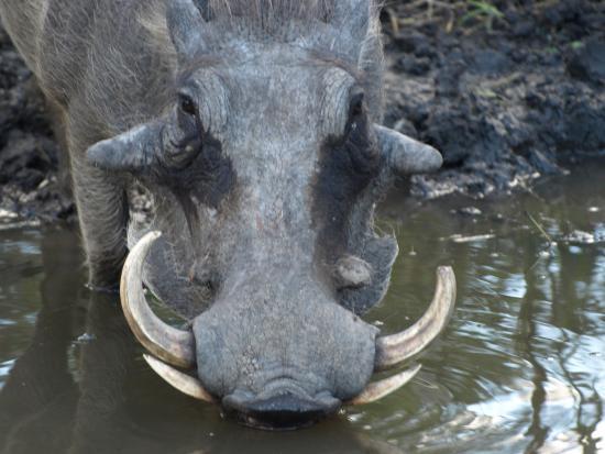 Timbavati Private Nature Reserve, Sydafrika: Warthog