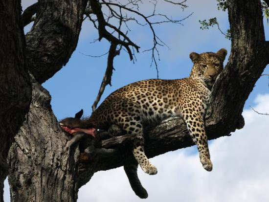 Timbavati Private Nature Reserve, Sydafrika: Mitt favoritdjur leppard .Som dom säger