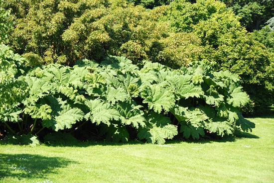 Pleurtuit, França: Peltiphyllum peltatum